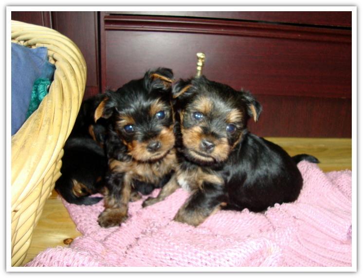 Little Yorkies